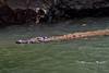 Crocodile on the lookout (Chemose) Tags: mexico mexique chiapadecorzo canyon sumidero crocodile rivière river water eau chiapas canon eos 7d mars march