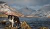 6/52 Discerning Taste (JJFET) Tags: 6 52 weeks for dogs paddy border collie dog sheepdog