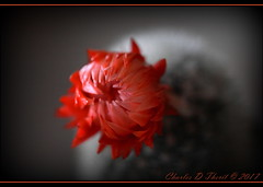 Cactus Flower (ctofcsco) Tags: 1250 180mm 5d 5dclassic 5dmark1 5dmarki canon colorado coloradosprings didnotfire digital ef180mmf35lmacrousm eos eos5d esplora evaluative bokeh explore geo:lat=3893083779 geo:lon=10489145279 geotagged gleneyrie nature northamerica telephoto wildlife explored f35 flashoff iso640 photo pic pretty renown shutterspeedpriorityae unitedstates usa macro flower cactus bloom blooming