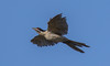 Pacific koel (Eudynamys orientalis)-2595 (rawshorty) Tags: rawshorty birds canberra australia act jerrabomberrawetlands
