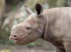 black rhino Mara Blijdorp BB2A1355 (j.a.kok) Tags: neushoorn zwarteneushoorn blackrhinoceros blackrhino rhino rhinoceros rhinocalf babyneushoorn babyrhino mara naima blijdorp herbivore africa afrika mammal zoogdier dier animal