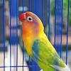 My Love Bird (r_fathur@ymail.com) Tags: cute photography nature alam binatang lovebird love bird animal