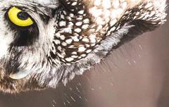 Boreal Owl bristles along facial disk (Laura Erickson) Tags: aogoliusfunereus strigiformes strigidae birds lakecounty borealowl minnesota species places twoharbors aegoliusfunereus