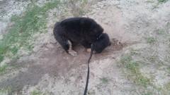 21462946_10213854271977905_5017352235055167508_n (natedetienne) Tags: ash tibetan mastiff puppy tm
