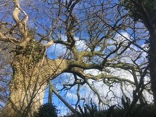 old oak from lane