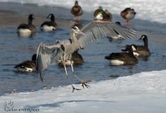 Great Blue Heron incoming landing. (Estrada77) Tags: greatblueheron nikond500200500mm wildlife winter foxriver illinois kanecounty outdoors feb2018