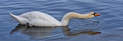 Ireland_Lough Key_01 (Mikeyob) Tags: loughkey ireland swans