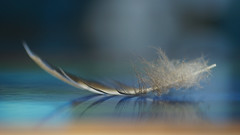 Feather (judith511) Tags: feather fluffy reflection