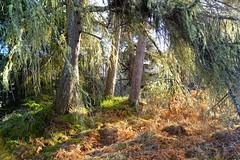 Winter sunshine. (artanglerPD) Tags: trees moss lichen larch fir ferns winter sunshine