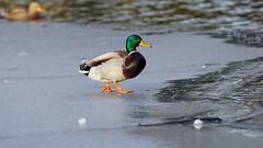 Walking on the frozen lake (2/2) : a duck (Franck Zumella) Tags: lake lac bird oiseau frozen gelé geler geleice glace cold froid winter hiver walk marcher nature animal duck canard mallard colvert sony a7s