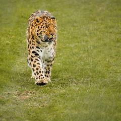 Amur Leopard (S.R.Murphy) Tags: animal jan2018 yorkshiresafaripark animals zoo leopard amurleopard cat bigcat predator fujifilmxt2 xf55200mmf3548 pantherapardusorientalis
