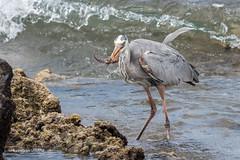 Great Blue Heron 500_3722.jpg (Mobile Lynn - Limited internet) Tags: herons birds greatblueheron wild nature ardeaherodias bird ciconiiformes coast fauna heron marsh wading wildlife wetland baltra galapagosislands ecuador ec coth specanimal ngc coth5 npc