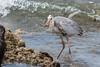 Great Blue Heron 500_3722.jpg (Mobile Lynn) Tags: herons birds greatblueheron wild nature ardeaherodias bird ciconiiformes coast fauna heron marsh wading wildlife wetland baltra galapagosislands ecuador ec coth specanimal ngc coth5 npc