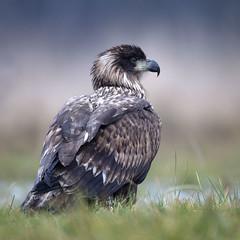 White-Tailed Eagle (peterspencer49) Tags: peterspencer peterspencer49 eagle whitetailedeagle whitetailedseaeagle raptor bird birdofprey