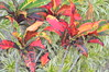 Croton (Rushfoil) (Urban and Nature OZ) Tags: crotonrushfoil plants colour color colurful colorful red yellow green blue goldcoast