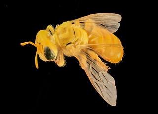 arhysosage species aff flava, back_2014-06-17-12.22.22 ZS PMax