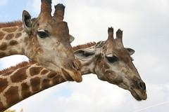 Par à altura (Helderlopesfotos) Tags: light lisboa girafa portugal zoo