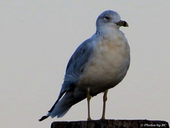 Sea Gull (~~BC's~~Photographs~~) Tags: bcsphotographs seagull birds closeups lighthouselanding grandriverskentucky kentuckyphotos outdoors naturephotos ourworldinphotosgroup earthwindandfiregroup explorekentucky cannonsx40camera