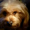 Daily Haiku: Puppy-Dog Eyes - 057/365 (James Milstid) Tags: dailyhaiku haiku haiga poetry jemhaiku dog puppydogeyes
