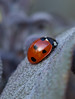 A sign of Spring (jeanettewhitmarsh) Tags: ladybird spring
