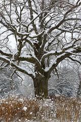 Mighty Oak in Snow (Rh+) Tags: iowa snow tree storm nature natural winter nikon oak