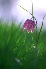 Fritillaire pintade (jpto_55) Tags: fleur fritillairepintade proxi bokeh xe1 fuji fujifilm omlens om85mmf2 hautegaronne france ngc