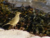 Rock pipit (marksargeant57) Tags: finepix fujifilm seaweed sand beach sea ocean water bird pipit scilly stagnes