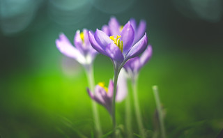 Spring Crocus, Snowdrops series - 2