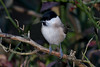 Marsh Tit-142 (davidgardiner8) Tags: birds eastsussex garden marshtit tits