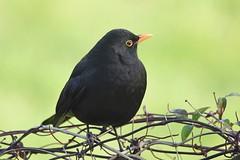Blackbird (Pam P Photos) Tags: blackbird