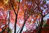 20180119 【九品仏浄真寺の紅葉】 (syashindorakunin) Tags: 九品仏浄真寺 autumnleaves maple momiji japan kuhonbutsujoshinjitemple
