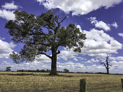 Trees - dead and alive (Kat-i) Tags: australien baum cowaramup westernaustralia bäume trees feld field himmel sky wolken clouds zaun fence outside appleiphonese kati katharina
