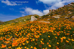 Lake Elsinore Poppy Rock Garden (Bridget Calip - Alluring Images) Tags: alluringimagescolorado bridgetcalip californiawildflowers californiapoppies eltororoad lakeelsinore rockgarden blueskies spring