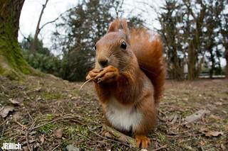 red squirrel @ Clara Zetkin Park, Leipzig, 2018