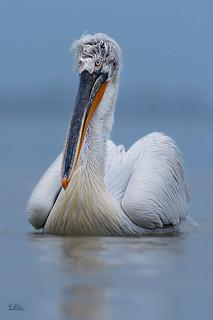 Krauskopfpelikan - Dalmatian pelican