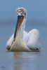 Krauskopfpelikan - Dalmatian pelican (Claudia Brockmann) Tags: natur nature see sea kerkinisee griechenland greece water wasser pelikan pelikane pelican dalmatianpelican krauskopfpelikan animal animals tiere tier wildlife wildanimal