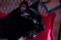 Panther the Cat (JuanJ) Tags: nikon d600 lightroom art bokeh nature lens light landscape white green red black pink sky people portrait location architecture building city iphone iphoneography square squareformat instagramapp shot awesome supershot beauty cute new flickr amazing photo photograph fav favorite favs picture me explore interestingness wedding party family travel friend friends vacation beach kentucky fayette county cat eye yellow