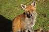 Urban Fox (charliejb) Tags: urban fox urbanfox 2018 canine red ginger westburyontrym bristol wildlife gardenwildlife garden grass ears fur furry furred