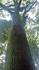 "Cedro-rosa brasileiro / Spanish cedar ""Cedrela fissilis"" (mauroguanandi) Tags: cedrorosa brasileiro spanishcedar cedrelafissilis cedrela meliaceae"
