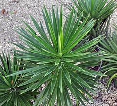 Yucca aloifolia (Spanish bayonet) 1 (James St. John) Tags: yucca aloifolia spanish bayonet plant plants angiosperm angiosperms florida