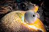Sunburst (RoamingTogether) Tags: braincoral chaetodoncapistratus coral coralreef diving faviidae florida floridakeys foureyebutterflyfish ikelite ikeliteds51 johnpennekamp keylargo molassesreef nikon nikon181053556 nikond300 pennekampstatepark