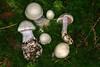 Cortinarius alboviolaceus, le cortinaire blanc-violet, the pearly webcap. (chug14) Tags: unlimitedphotos champignon pilze mushroom fungus fungi cortinariaceae cortinaireblancviolet pearlywebcap cortinariusalboviolaceus