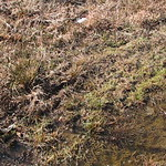 Upland chorus frogs - 1-21-18 thumbnail