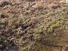 Upland chorus frogs - 1-21-18 (Vicki's Nature) Tags: uplandchorusfrogs calls sound audio winter january biello georgia vickisnature canon s5 0077