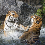 Fighting in the water thumbnail