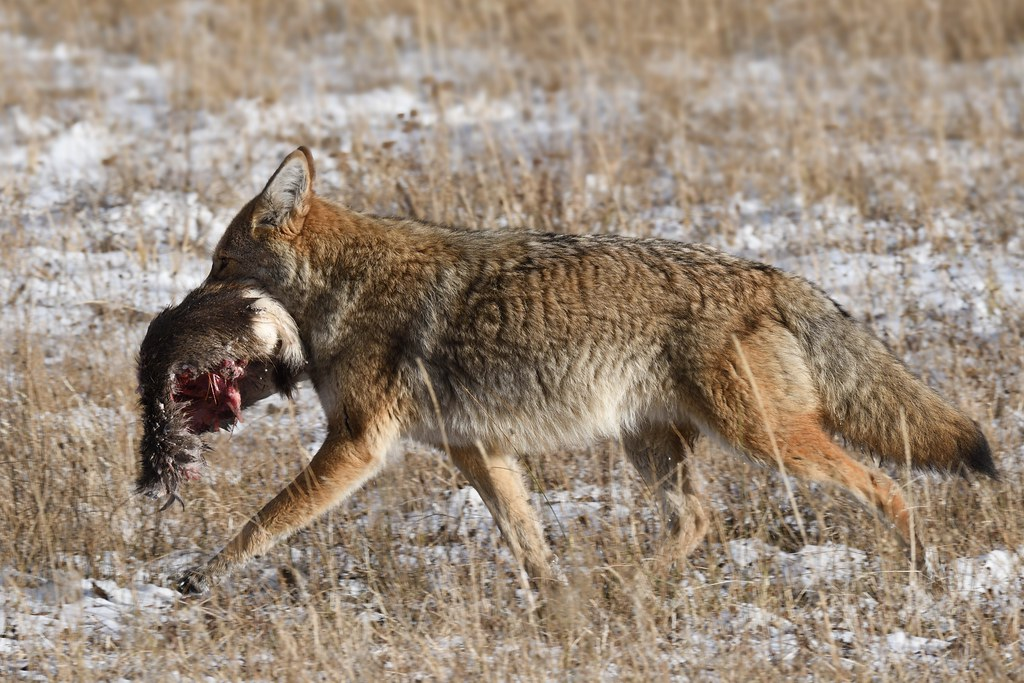 Coyote skunk and the prairie dogs essays