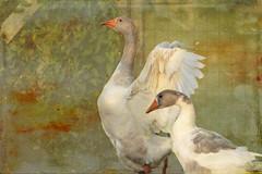 ocas (vitofonte) Tags: ocas geese ave bird naturaleza nature natura natureza textura texture oscastros ribadeo galicia vitofonte