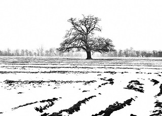 Lone Tree Amid A Snow Covered Ploughed Field