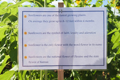 cherriehughesphotographer-9007 (bilateral) Tags: sunsetsymphonyinthesunflowers sunflowers sugarcane celebration music orchestra sakwolo assi australiansouthseaislander agriculture concert farm simonmattsson sugarvsthereef