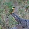 Little Bee-eater (Malcolms wanderings) Tags: beeeater africa botswana chobe littlebeeeater meropspusillus